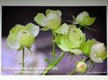 "Postkarte 16  ""Rose Lovely Green - Die Ruhe der Seele...."""