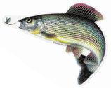 Pescars Sticker mit Fisch-Motiv - Autoaufkleber Äsche mit Fliege 14cm