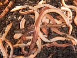 Tauwürmer Grosspackungen