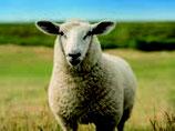 15 Schafglück mit Hafer