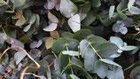 Eukalyptus cinarea Bund