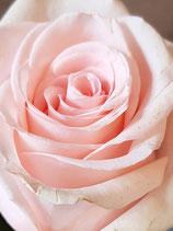 Rosen Bund 10 Stck                   Farbe nach Verfügbarkeit