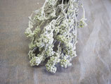 ダスティーミラーの花芽