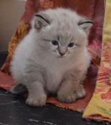 Acompte réservation chaton sibérien