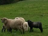 Schafwolle aus der Region