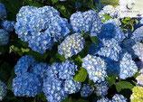 Hortensia Nikko Blau 50-60cm gross