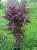 Blutahorn, Acer palamtum Bloodgood 50-60cm hoch
