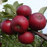 Apfel Ingrid Marie 125-150cm gross
