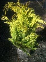 """Gelbe Scheinzypresse, Chamaecyparis lawsoniana """"Stardust"""" 80-90cm hoch"""