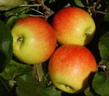 Apfel Jonagold 125-150cm gross