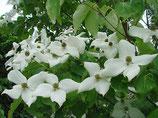 "Japanischer Blütenhartriegel, Cornus kousa ""Schmetterling""  125-150cm hoch"