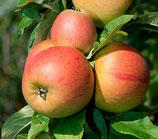 Apfel Goldparmäne 125-150cm gross