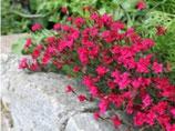 Polsterpflanze Polsternelke rot