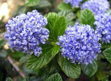 Kalifornischer Flieder, Ceonothus repens 20-25cm