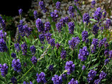 Lavendel Blauer Zwerg