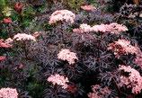 "Schwarzer Holunder, Sambucus nigra ""Black Lace"" 50-60cm hoch"
