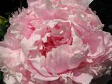 """Pfingstrose Paeonia lactifolia """"Solange"""" weiss-rosa gefüllt im 19cm Topf"""