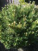Bergföhre / Pinus mugo mugo 70m hoch und breit