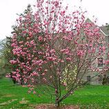 Magnolia Spectrum 200cm Stammhöhe 10-12cm Stammumfang