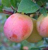 Aprikosen Mirabelle Aprimira 100cm gross