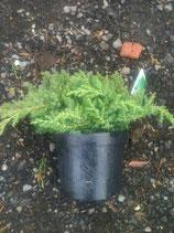 Kriechender Wachholder, Juniperus procumbens Nana 25cm gross