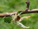 Apfelbaum Diagnose und Pflanzenschutzmittel