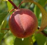 Pfirsich früher, roter Igelheimer  100-125cm gross