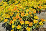 """Gelbblühende Fetthenne / Sedum floriferum """"Weihenstephaner Gold"""" im 9x11cm Topf"""