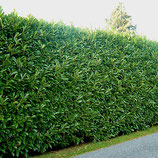 "Kirschlorbeer, Prunus laurocerasus ""Caucasica"" 100-125ocm"