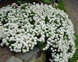 Polsterpflanze Schleifenblume weiss