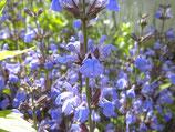 Salbei, Salvia officinalis  im 9-10cm Topf