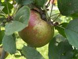 Apfel Boskoop 125-150cm gross