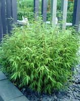 Bambus Fargesia Rufa Schirmbambus 175cm hoch im 38cm Topf
