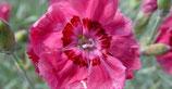 Pfingst-Nelke Dianthus gratianopolitanus Rotkäppchen im 9x 11cm Topf