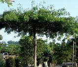 Eiche Quercus palustris Dachform ca. 220-240cm Stammhöhe / Stammumfang 16-18cm