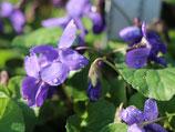 "Duftveilchen Viola odorata "" Königin Charlotte "" im 9x11cm Topf"
