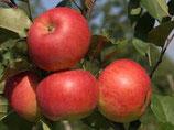 Apfel Topaz 125-150cm gross
