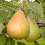 Birne Gellerts Butterbirne 150-175cm gross