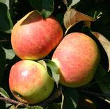 Apfel Berlepsch 125-150cm gross