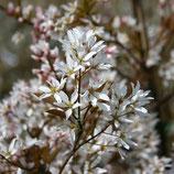 Baumfelsenbirne Amelanchier arborea Robin Hill Stammumfang 12-14cm