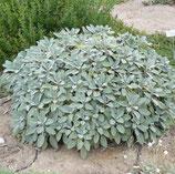 Salbei grossblättrig, Salvia officinalis Berggarten im 9-10cm Topf