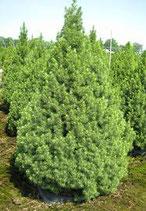 Zucherhutfichte, Picea Glauca Conica 90-100cm Pflanzenhöhe