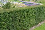 Einheimische Eibe, Taxus baccata 100-125cm