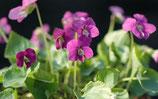 "Rotes Pfingstveilchen Viola sororia "" Rubra "" im 9x11cm Topf"