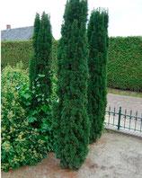 "Säuleneiben grün Taxus baccata ""fastigiata robusta"" 150-160cm Pflanzenhöhe"
