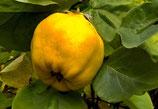 Apfelquitte  125-150cm gross