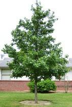 Amberbaum / Liquidambar Gumball 200cm Stammhöhe 8-10cm Stammumfang