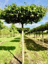 Maulbeerbaum Dachform ca. 220-240cm Stammhöhe / Stammumfang 14-16cm