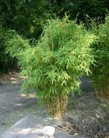 Bambus Fargesia Jumbo / Schirmbambus 125cm hoch im 28cm Topf