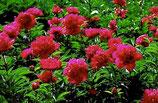 Pfingstrose Paeonia lactifolia Karl Rosenfield rot gefüllt im 12cm Topf